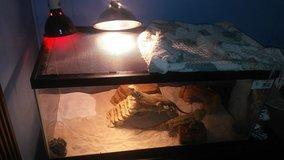 Bearded Dragon 1 Year Old in Beaufort, South Carolina