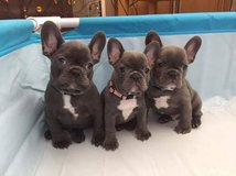 ADORABLE FRENCH BULLDOG PUPPIES FOR SALE in Jacksonville, Florida