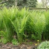 TALL, HARDY GARDEN FERNS- BR or IN POTS in Naperville, Illinois