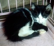 kitten black&white long haired in DeRidder, Louisiana