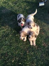 Great Pyrenees Puppies in Alamogordo, New Mexico
