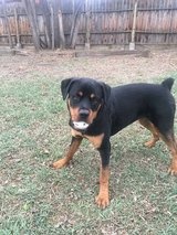 Rottweiler in Fort Carson, Colorado