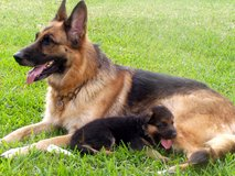 German Shepherd puppies in Hohenfels, Germany