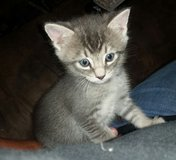 Free male kitten in Dover, Tennessee