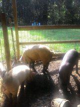 Pigs for sale in Fort Polk, Louisiana