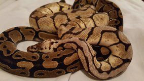 2 ball pythons w/ enclosure & stand in Pensacola, Florida