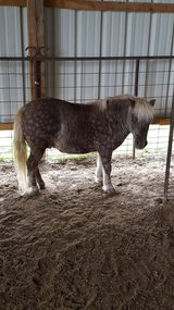 Miniature gelding and harness in Alamogordo, New Mexico