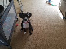 1 year old Female mixed breed Dog**Free to good home** in Leesville, Louisiana