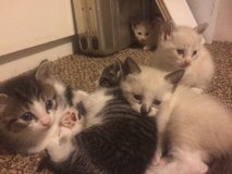 Kittens in Kingwood, Texas