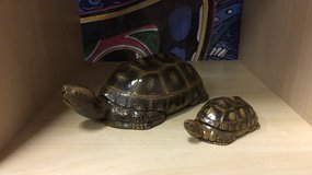 Set of two turtles in Vacaville, California