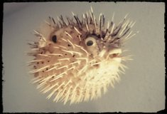 Puffer Fish in Ramstein, Germany