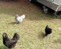 Ameraucanas chickens in Beaufort, South Carolina