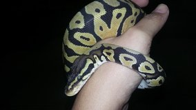 Enchi pastel ball python in Moody AFB, Georgia