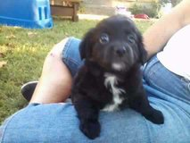 puppy in Hopkinsville, Kentucky