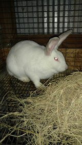 Pure breed Californian rabbits in Houston, Texas