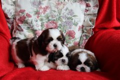 Cute female and male Shih Tzu puppies for rehoming in Los Angeles, California