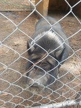 POTBELLY PIG FORSALE in Perry, Georgia