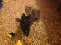 Free kittens 4-6 weeks old needs loving home in Lawton, Oklahoma