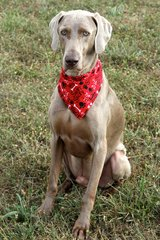 5 Y/O Weimaraner in Todd County, Kentucky