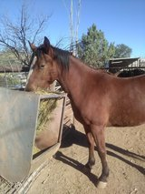 3 1/2 year old gelding in Alamogordo, New Mexico