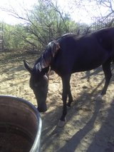 Black Filly coming 2 in Alamogordo, New Mexico