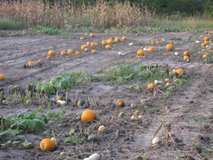 PUMKINS !    GOURDS !   SQUASH !   HALLOWEEN / FALL  DECORATIONS  OR EAT in Naperville, Illinois