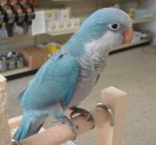 Blue Quaker Parrot with cage/supplies in Kingwood, Texas