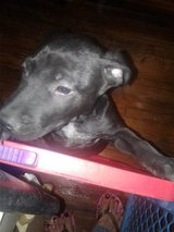 Lab mix in Barstow, California