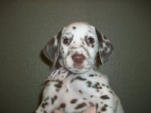 Stunning Dalmatian Puppies For Adoption in Little Rock, Arkansas