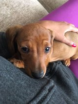 Awesome A.K.c Registered Miniature Dachshund in Little Rock, Arkansas