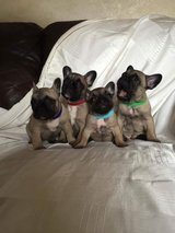 Outstanding Quality A.K.C Reg French Bull Dog Puppies in Little Rock, Arkansas