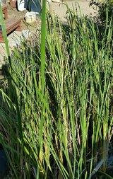 Free Pond Plants-Cat Tails in 29 Palms, California