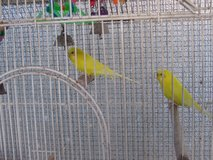2 Parakeets, cage not included in Baytown, Texas