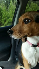 Free 1 yr old beagle in Sanford, North Carolina