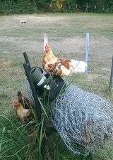 2 Roosters in Liberty, Texas