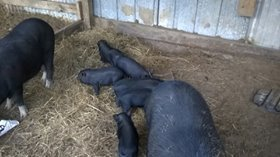Pot Belly Pig in Conroe, Texas