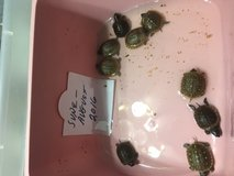 Rehoming 2016 Box Turtle Hatchlings in Houston, Texas