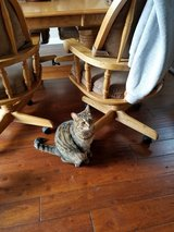 2yr old tabby needs a new home in Olympia, Washington