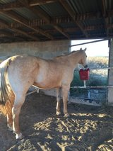 Beautiful Double Registered Palomino Gelding in Alamogordo, New Mexico
