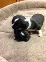 Registered Chihuahua Babies in Conroe, Texas