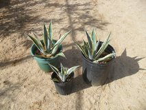 ==  Variegated Agave  == in Yucca Valley, California