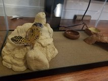 Young tame female Leopard Gecko with setup in Sugar Land, Texas