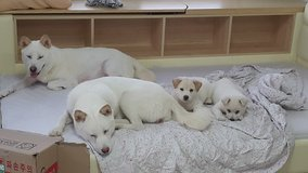 Rescued 6 weeks old Jindo puppies & Mother dog in Camp Humphreys, South Korea