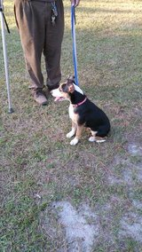 4 month old female bulldog mixed with blue nose and red nose pit. in Moody AFB, Georgia