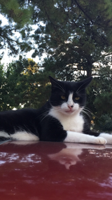 Lost black and white short hair CAT in Houston, Texas