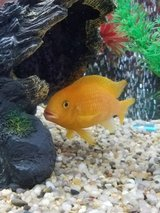 Freshwater Fish (We  Rescue your Fish) in 29 Palms, California