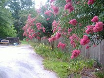 Crape Myrtles in Warner Robins, Georgia