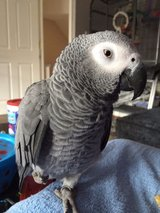 African grey parrot in need of a new home in Birmingham, Alabama
