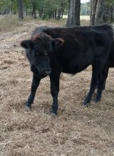 Angus Bulls for sale in Dothan, Alabama
