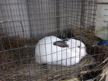 Rabbits in Houston, Texas